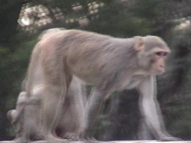 The Monkeys of Vrindavan